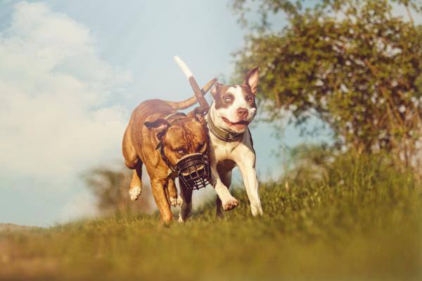 5 Exerciții Pentru Câinii Pitbull - 1. Alergare