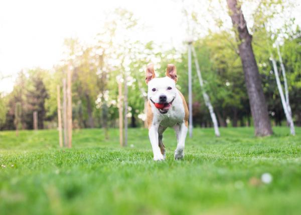 5 Exerciții Pentru Câinii Pitbull - 2. Minge Și Fresbee