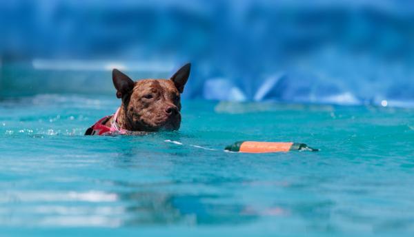 5 Exerciții Pentru Câinii Pitbull - 4. Înot