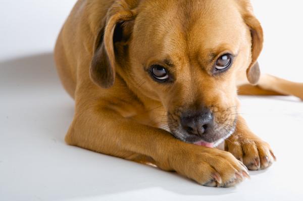 De Ce Îmi Linge Câinele Picioarele? - Caracteristicile Comportamentale Ale Câinilor