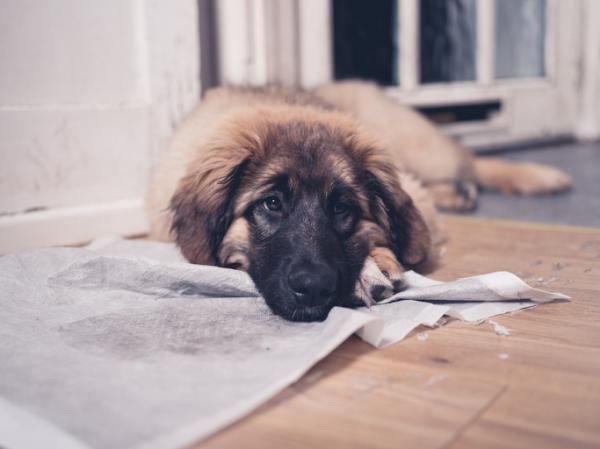 Câinele Meu Urinează Peste Tot - Cauze Și Soluții - De Câte Ori Urină Un Cățeluș?