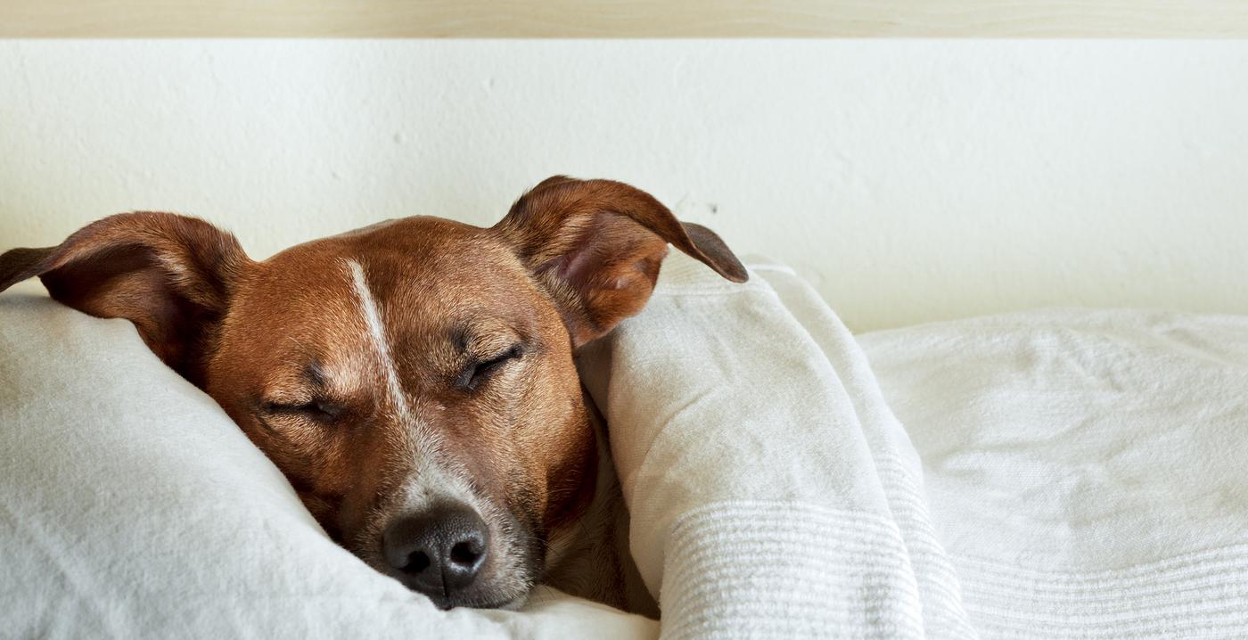 Jack Russell Terrier Adormit Sub Cearșafuri Albe Cu Capul Pe Pernă.