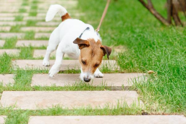 De Ce Câinele Meu Linge Pământul? - Câinii Ling Ling Pământul Când Detectează Ceva