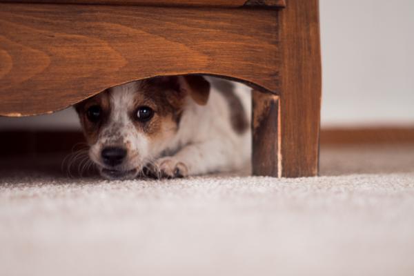 Câinele Meu Urinează Peste Tot - Cauze Și Soluții - Câinele Meu Urinează Acasă Și Nu A Mai Făcut-O Înainte, De Ce?