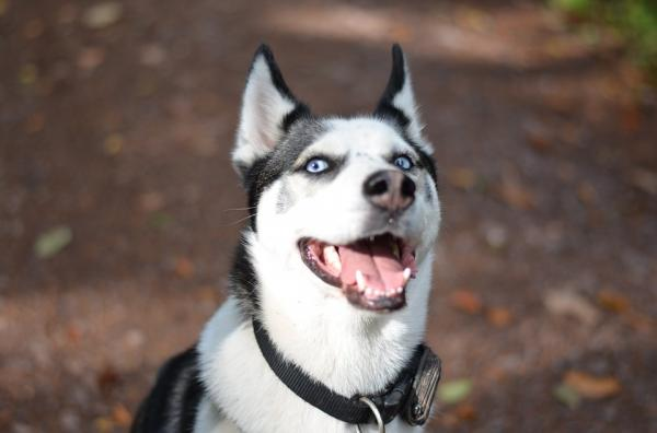 Antrenează Un Husky Siberian - Cunoaște-Ți Câinele