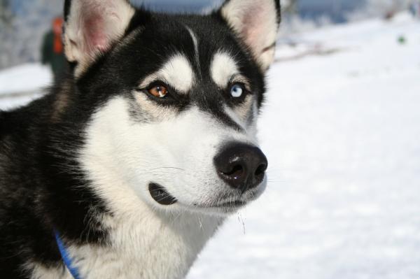 Antrenează Un Husky Siberian - Începe Antrenamentul