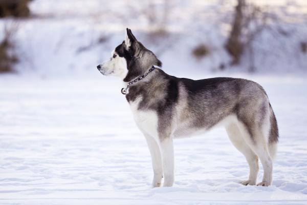 Img Adiestrar Un Husky Siberiano 22053 Paso 3 600