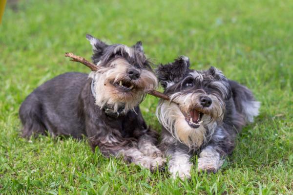 Sfaturi Pentru Un Schnauzer Distructiv - De Ce Câinele Schnauzer Sparge Lucrurile?