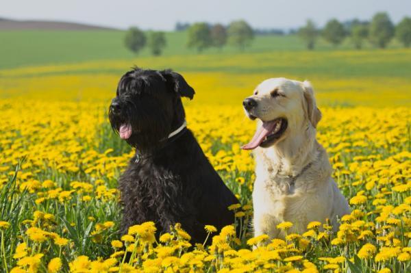Sfaturi Pentru Un Schnauzer Distructiv - Câine Schnauzer Se Plimba Și Face Exerciții