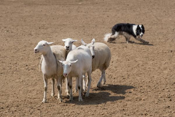 Sporturi Pentru Câini - Herding: Herding Dogs