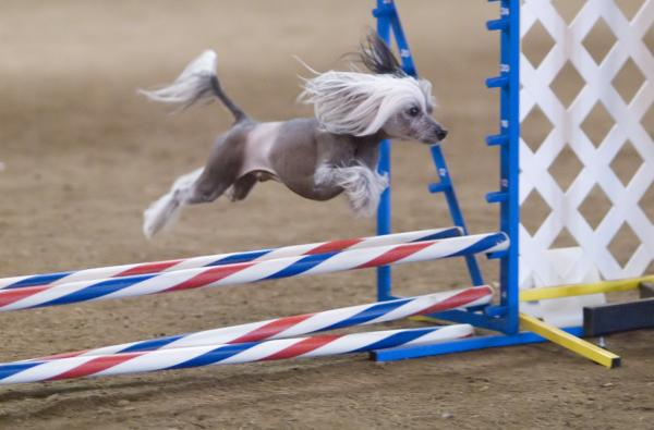Sporturi Pentru Câini - Agilitate