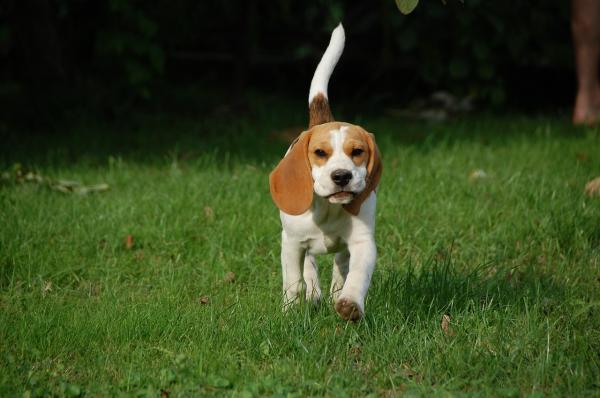 Exerciții Pentru Câinii Beagle - Cum Este Un Beagle?