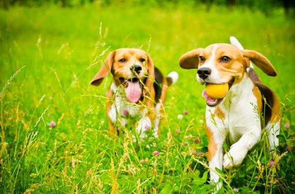 Exerciții Pentru Câinii Beagle - Exerciții De Bază Și Jocuri