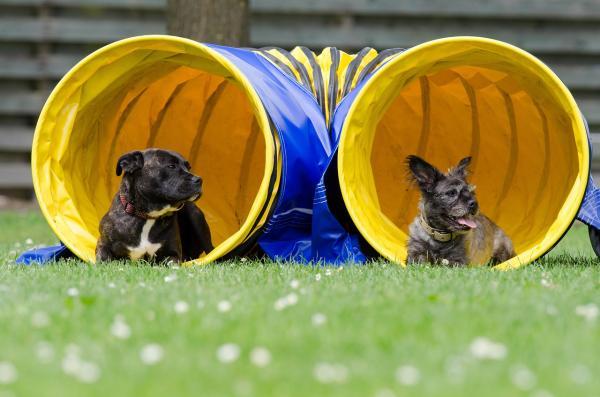 Exerciții Pentru Câinii Hiperactivi - 3. Agilitate