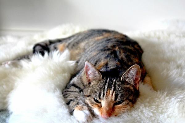 Învățându-Mi Pisica Să Doarmă În Patul Ei - De Ce Nu Vrea Pisica Mea Să Doarmă În Patul Ei?