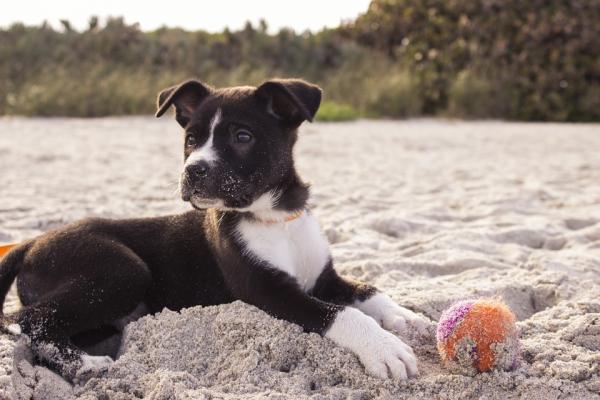 Învățându-Mi Câinele Să Se Întindă - Precauții Atunci Când Vă Instruiți Câinele Să Se Întindă Cu O Comandă