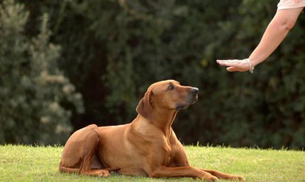 Învață-L Pe Câinele Meu Să Stea Nemișcat La Comandă - Învață-L Porunca &Quot;Înalt&Quot;