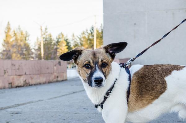 Învățarea Unui Câine Adult Să Meargă Cu Lesa - Obișnuința Accesoriilor
