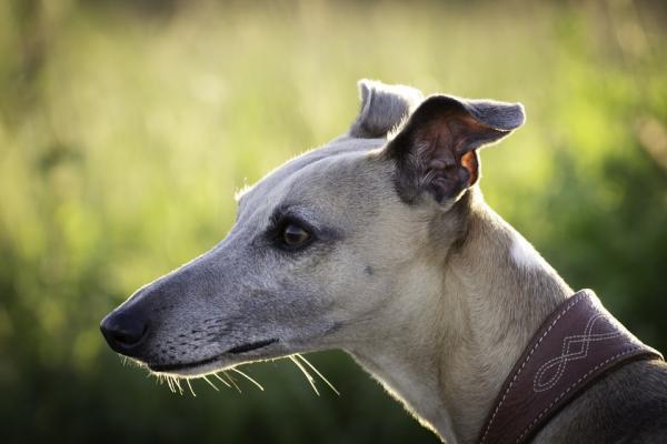 Învățați-Vă Câinele Să Latre La Comandă - Introduceți Distrageri
