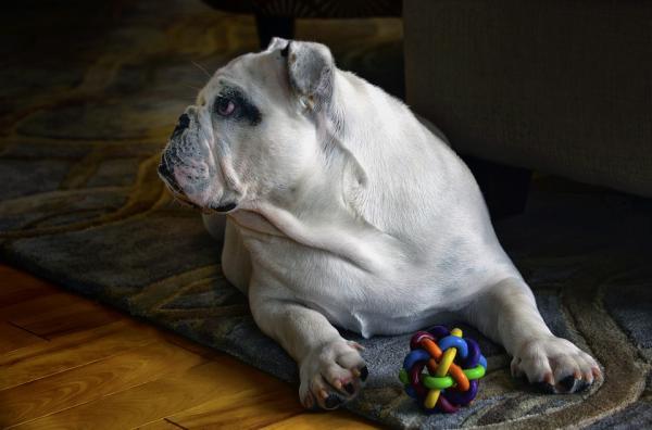 Împiedicați Câinele Meu Să Mestece Lucruri - Ce Să Fac Dacă Câinele Dvs. Mestecă Ceva Greșit?