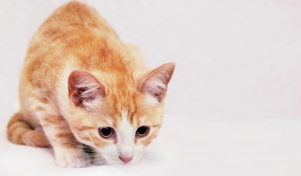 Ce Trebuie Să Fac Dacă Pisica Mea Este Stresată - Stresul La Pisici