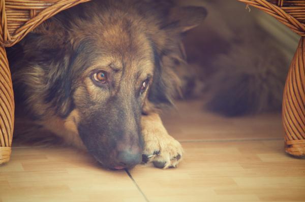 Ce Să Fac Dacă Câinele Meu Se Teme De Rachete? - Cum Să-L Liniștiți Pe Un Câine Speriat De Rachete?