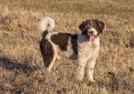 Câine de apă spaniol – Profil complet, istorie și îngrijire