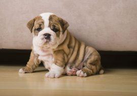 Tratament impetigo la câini