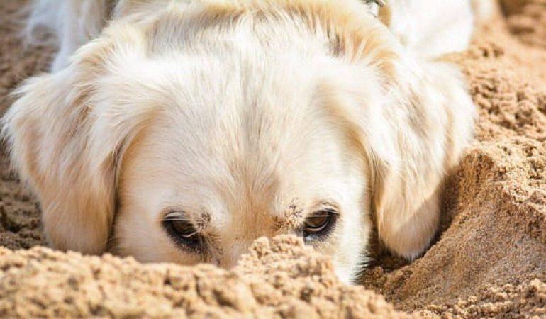 De ce sapă câinele? Și cum să salvați grădina