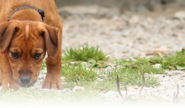 Motive pentru care câinele dvs. mănâncă fecale
