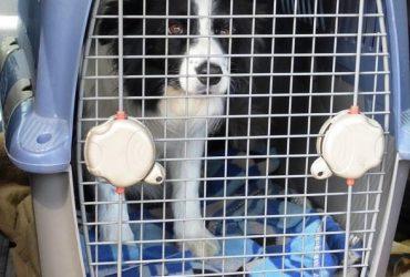Sfaturi pentru a vă obișnui câinele cu cusca de călătorie