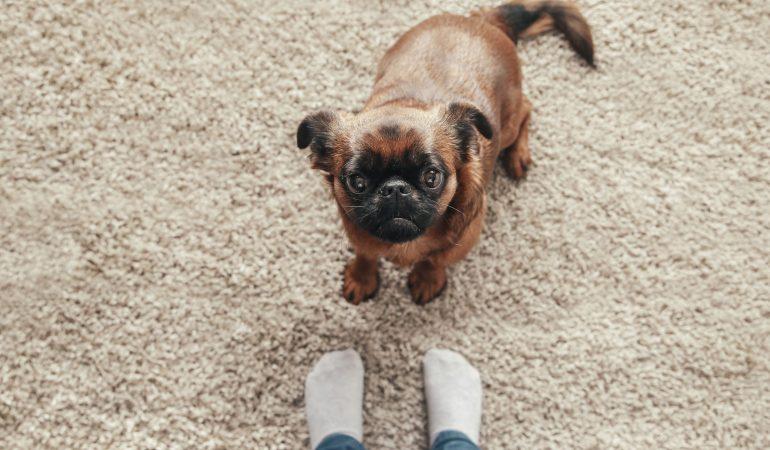 Tusea de canisa la câini