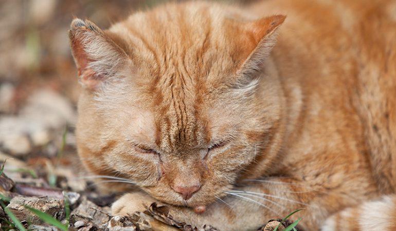 Negi la pisică;  Ce este negul pisicii și ce să faci?