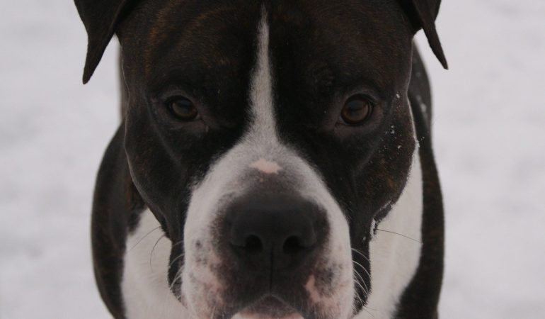 Cainele Amstaff – American Staffordshire Terrier