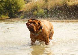 Cum să știți dacă câinele este supraponderal