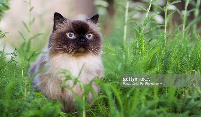 Pisica Himalaya – Profil complet, istorie și îngrijire