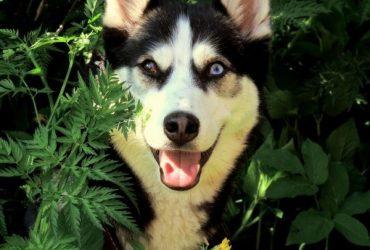 Husky siberian – dresaj si ingrijire