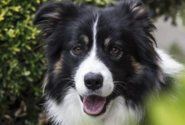 Condiționare operantă la câini