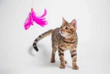 Cât timp ar trebui să mă joc cu pisica mea?