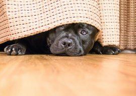 Ce să fac dacă câinele se teme de petarde?