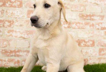 Rase de Caini: Labrador Retriever