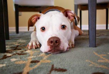 Cauze de ce câinii vomită