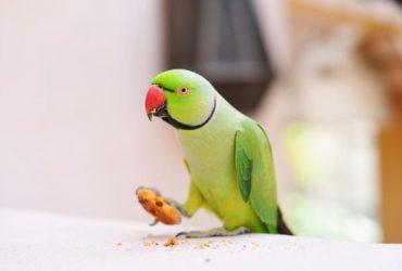 De ce papagalul meu aruncă mâncare?