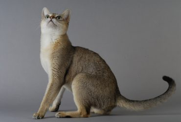Singapura Rasă de pisică sociabilă și inteligentă
