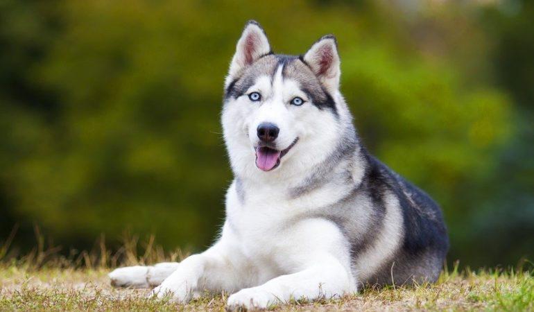 Siberian Husky – istorie si prezentare